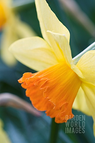 NARCISSUS_FORTUNE__