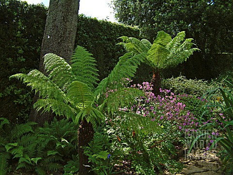 SHADY_BORDER_WITH_TREE_FERNS_DICKSONIA_ANTARTICA