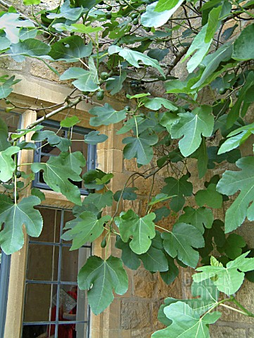 FIG_FICUS_TREE_GROWING_AGAINST_WARM_WALL