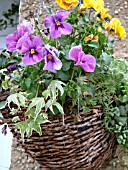 HANGING WICKER BASKET WITH VIOLAS AND VARIEGATED HEDERA