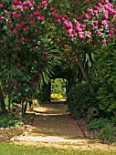 GRAVEL PATH,  RHODODENDRONS AND CANONS AT ABBOTSBURY SUB TROPICAL GARDEN.