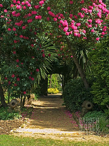 GRAVEL_PATH__RHODODENDRONS_AND_CANONS_AT_ABBOTSBURY_SUB_TROPICAL_GARDEN