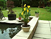 ARUM LILY,  ZANTEDESCHIA ON PATIO NEAR POND, PROTECTION FROM HERON