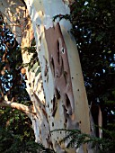 EUCALYPTUS TREE WITH YEW,   AND PEELING BARK.