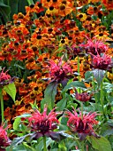 MONARDA DIDYMA AND RUDBECKIA IN HOT ASSOCIATION
