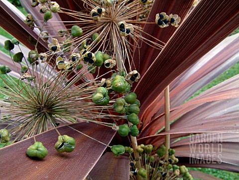 ALLIUM_SEEDS_AND_CORDYLINE_LEAVES