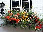 WINDOW BOX WITH BEGONIAS, LOBELIA, PETUNIAS AND MIXED SUMMER COLOUR.