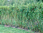 SALIX,  WILLOW LIVING FENCE.