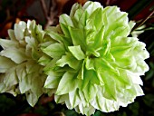 CLEMATIS, (GREEN DOUBLE)