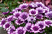 OSTEOSPERMUM 3D DARK VIOLET AND WHITE