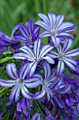 AGAPANTHUS MIDNIGHT STAR (SYN AGAPANTHUS NAVY BLUE)