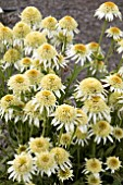ECHINACEA PAPALLO SEMI DOUBLE WHITE
