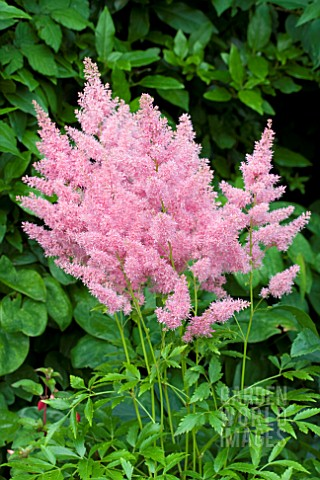 ASTILBE_ASTARY_PINK