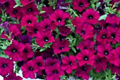 PETUNIA SURFINIA DARK PURPLE MINI