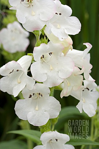 PENSTEMON_ARABESQUE_APPLEBLOSSOM
