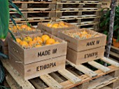 ORANGES IN CRATES IN THE WORLD VISION GARDEN DESIGNED BY JOHN WARLAND