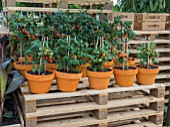 POTTED TOMATOES ON CRATES IN THE WORLD VISION GARDEN DESIGNED BY JOHN WARLAND