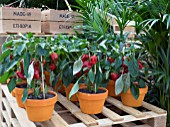 POTTED CAPSICUM PEPPERS IN THE WORLD VISION GARDEN DESIGNED BY JOHN WARLAND