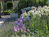 AGAPANTHUS WHITE HEAVEN AND BLUE STORM ON THE JUST RETIREMENT GARDEN DESIGNED BY JACK DUNCKLEY