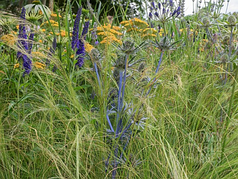 ACHILLEA_TERRACOTTA__ROSA_RHAPSODY_IN_BLUE__AGAPANTHUS__KNIPHOFIA__ECHINOPS_RITRO_VEITCHS_BLUE_AND_G
