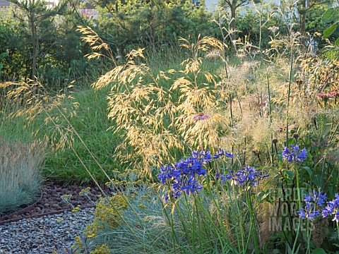 BACKLIT_GRASS_AND_AGAPANTHUS